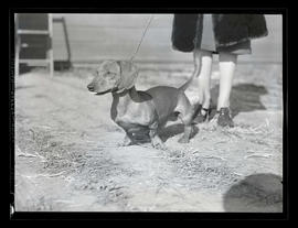 Dachshund, probably at Pacific International Livestock Exposition
