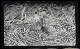 Unidentified nestlings