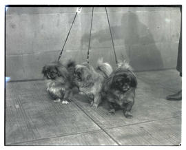 Three small dogs on leashes