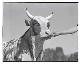 Bull, probably at livestock show