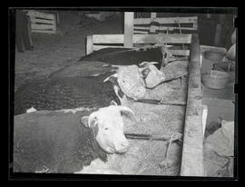 Cattle lying in pen, probably at Pacific International Livestock Exposition