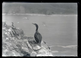 Brandt's Cormorant at Nest