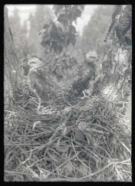 Red-Tailed Hawks in Nest