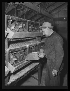Worker at chicken hatchery, Portland