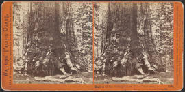 """Section of the Grizzly Giant, 33 feet diameter, Mariposa Grove, Mariposa County, Cal.""..."