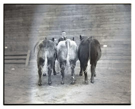 Rear view of cattle, probably at livestock show
