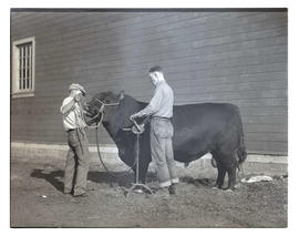 Men clipping bull's hair