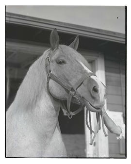 Belgian horse, Minnie, probably at Pacific International Livestock Exposition