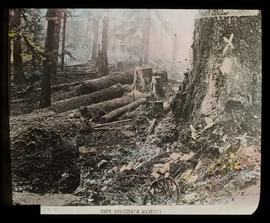 Marked stump and felled trees