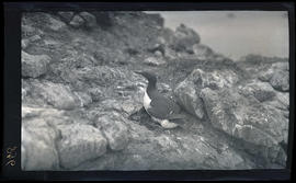 Murre on nest