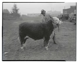 Man with steer or heifer