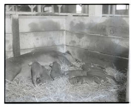 Sow and piglets in stall