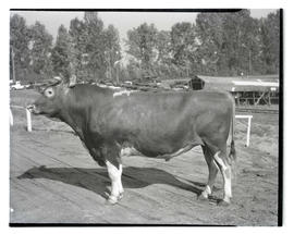 Bull, possibly at livestock show