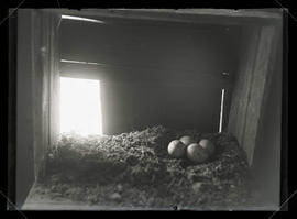 Barn Owl Nest and Eggs