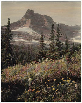 Mt. Wilbur wildflowers, Glacier National Park