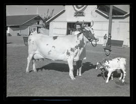 Young woman and man posing with cow and calf
