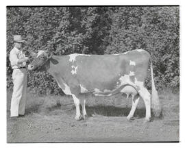 Unidentified man with cow at Pacific International Livestock Exposition