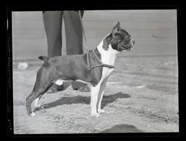 Boston terrier?, probably at Pacific International Livestock Exposition