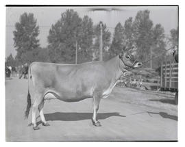 Cow or heifer, probably at Pacific International Livestock Exposition