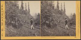 """In the Orchard, Columbia River."" (Stereograph 1236)"