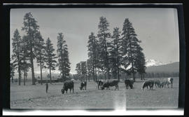 Cattle at the M. Bailey house