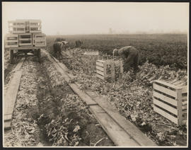 Agricultural workers in celery field