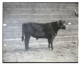 Steer, probably at livestock show