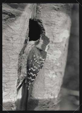 Nuttall Woodpecker