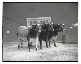 Cattle, probably at livestock show