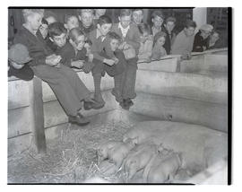 Children watching sow nurse piglets, probably at Pacific International Livestock Exposition