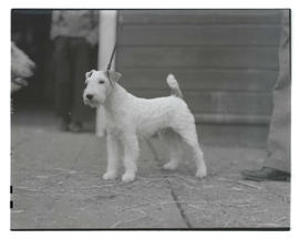 Airedale terrier, probably at Pacific International Livestock Exposition
