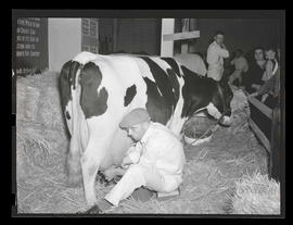 Unidentified man milking cow, probably at Pacific International Livestock Exposition