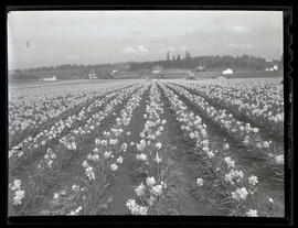 Daffodil field at Oregon Bulb Farms