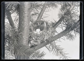 Black-Throated Gray Warbler Nest