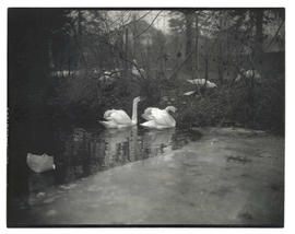 Two swans in partially frozen pond