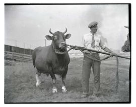 Man with Guernsey bull