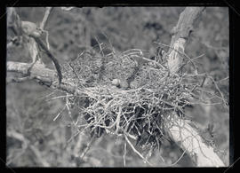 Great Blue Heron Nest and Eggs