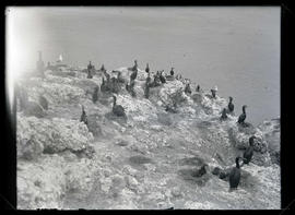 Brandt's Cormorant Colony