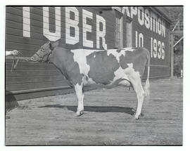 Cow at Pacific International Livestock Exposition, Portland