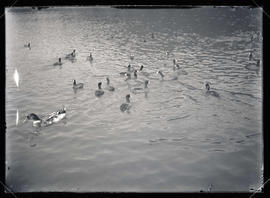 Coots and Ducks
