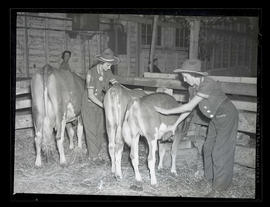 Unidentified young women grooming calves at Pacific International Livestock Exposition