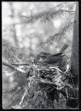 Russet Backed Thrush in Nest