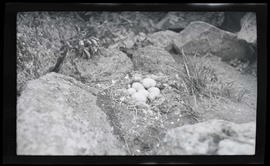 Goose nest and eggs