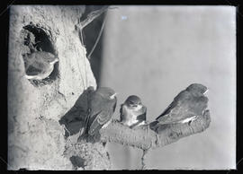 Rough-Winged Swallows