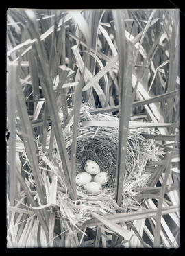 Red-Winged Blackbird Nest