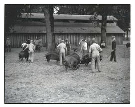 Group of men with pigs