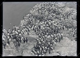 California Murre Colony