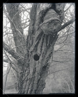 Flicker Nest Hole