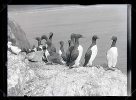 California Murres