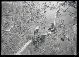 William Finley Photographing an Eagle's Nest